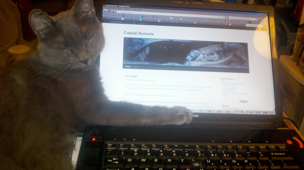 Gray cat lounging with paw embracing laptop showing Capital Animals