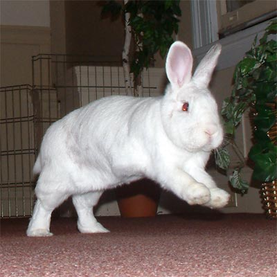 White house rabbit leaping